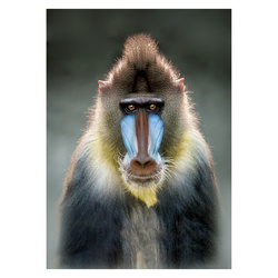 Jersey photo print appr. 50x70cm monkey